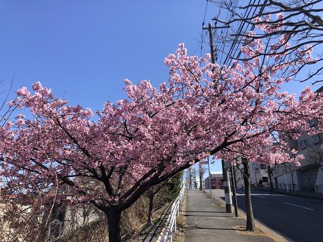 善行坂の桜